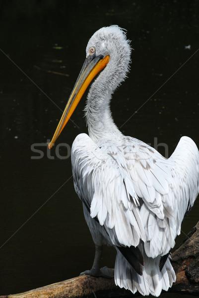 pelican Stock photo © Sarkao