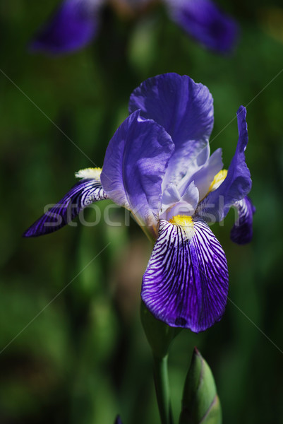 blue iris Stock photo © Sarkao