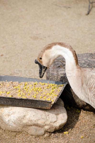 Gans oog boerderij eten bruin veren Stockfoto © Sarkao