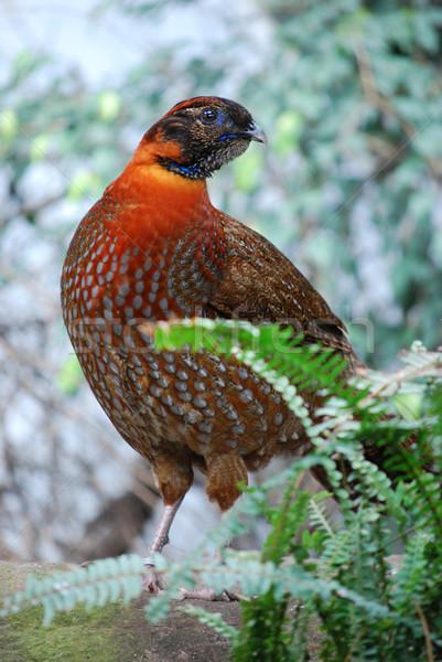 Laranja pássaro pena montanhas vermelho Ásia Foto stock © Sarkao