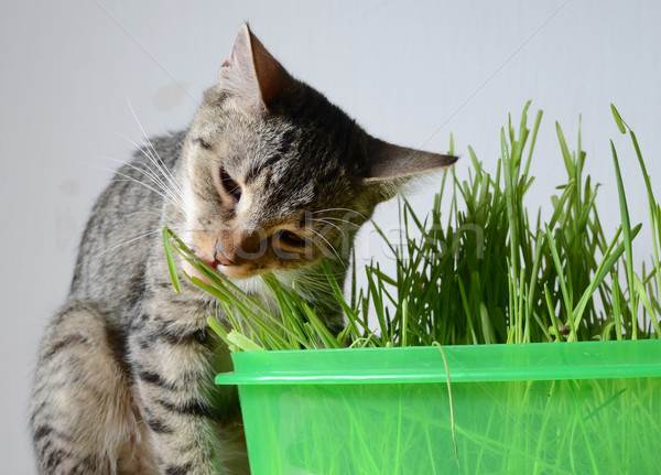 kitten and grass Stock photo © Sarkao