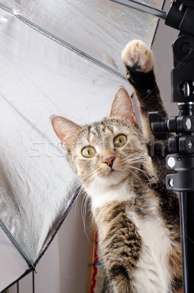 curious cat in photo studio Stock photo © Sarkao