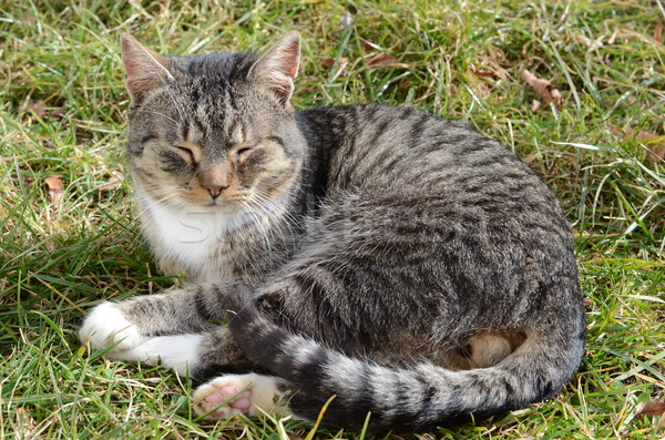 Macska fű aranyos emlős csíkos Stock fotó © Sarkao