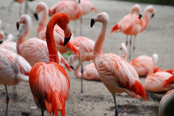 Naranja aves rosa flamenco fauna exótico Foto stock © Sarkao