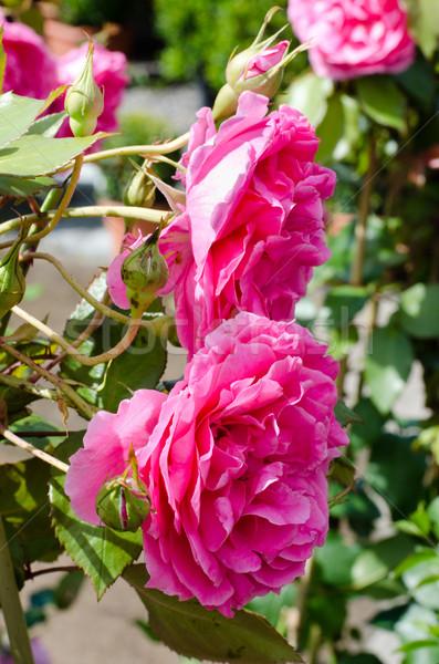 roses Stock photo © Sarkao