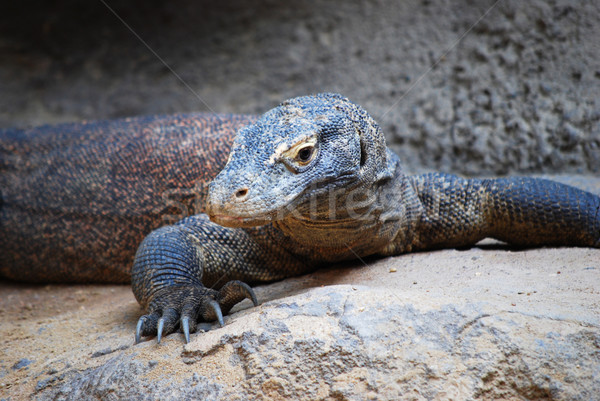 comodo dragon Stock photo © Sarkao