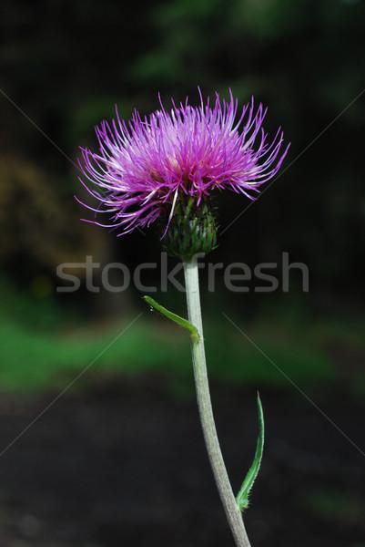 violet thistle Stock photo © Sarkao
