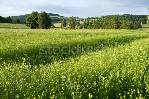 flax field Stock photo © Sarkao