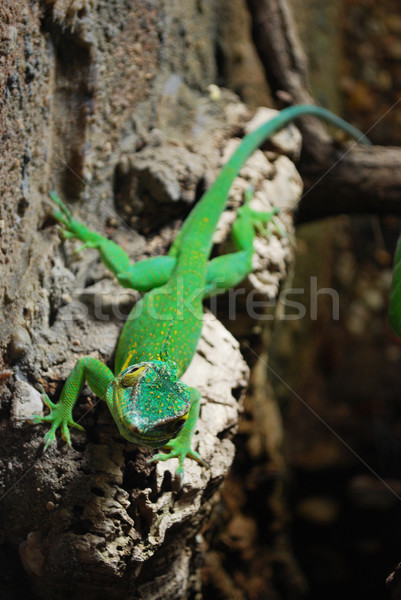 green lizard Stock photo © Sarkao
