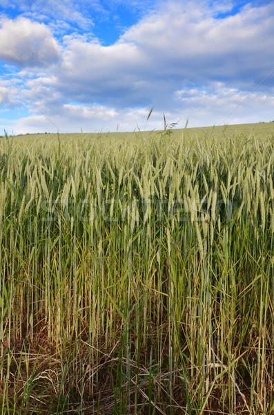 grain field Stock photo © Sarkao