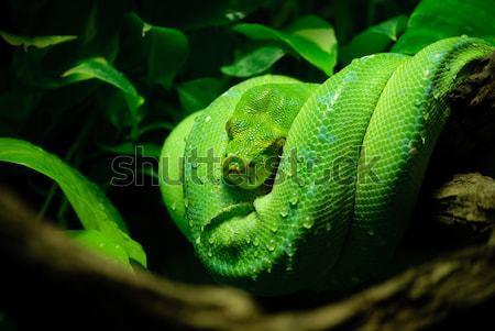 Groene boom python groene bladeren dier schaal Stockfoto © Sarkao