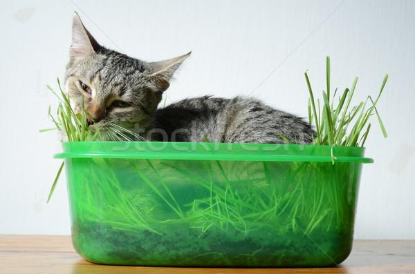 kitten eating  grass Stock photo © Sarkao