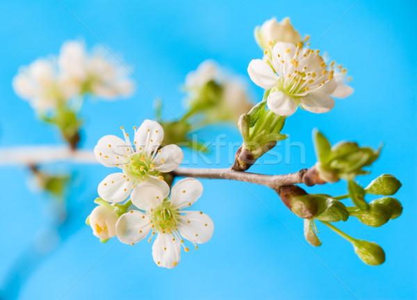 весны Cherry Blossom белый синий цветок Сток-фото © sarsmis