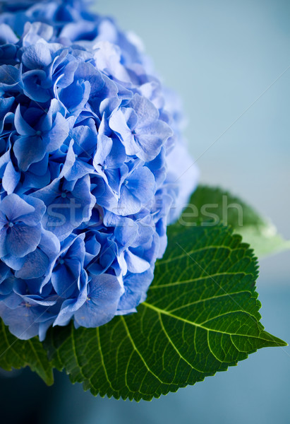 blue hydrangea Stock photo © sarsmis
