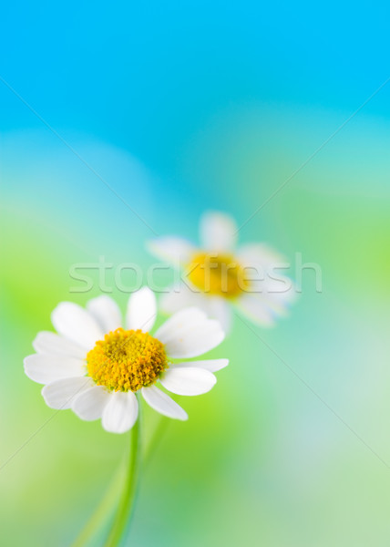 Camomille blanche belle fleur printemps nature Photo stock © sarsmis