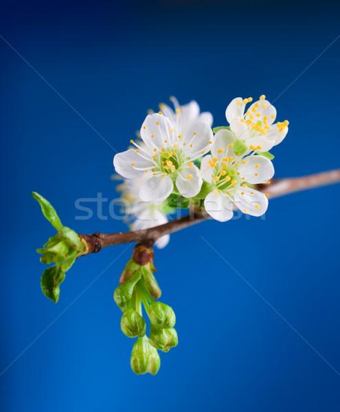 Primavera flor de cerezo blanco azul flor Foto stock © sarsmis