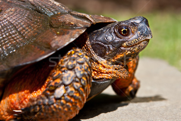 Wood Turtle Stock photo © sbonk