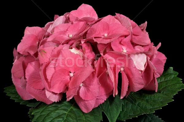 Bloemen natuur tuin schoonheid bladeren Stockfoto © sbonk