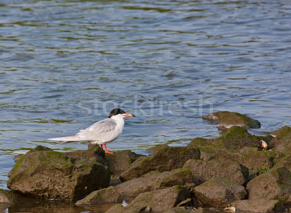 Forster's Tern Stock photo © sbonk