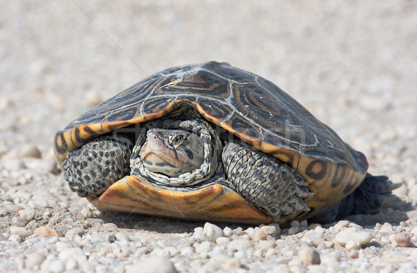 Diamondback Terrapin Stock photo © sbonk