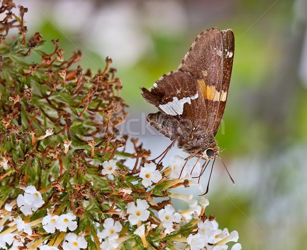 Silver-Spotted Skipper Butterfly Stock photo © sbonk