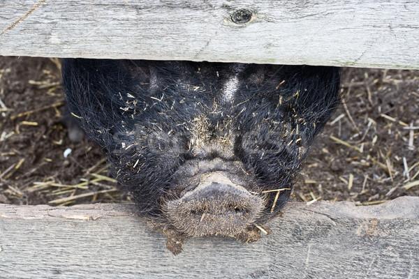 Porc museau clôture animaux agriculture nez Photo stock © sbonk