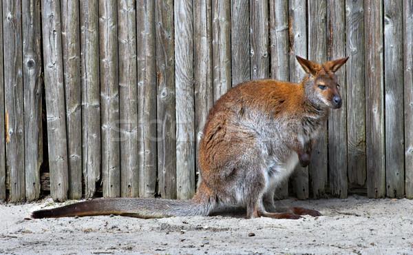 Wallaby Stock photo © sbonk