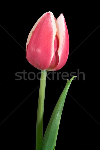 Tulp Rood groene stengel geïsoleerd zwarte Stockfoto © sbonk