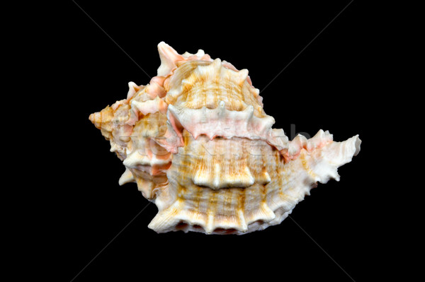 Seashell Over Black #1 (Conch) Stock photo © sbonk