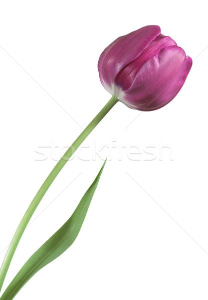 Tulipan zielone trzon odizolowany biały kwiaty Zdjęcia stock © sbonk