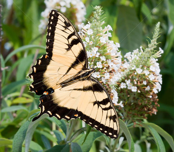 Eastern Tiger Swallowtail Butterfly Stock photo © sbonk
