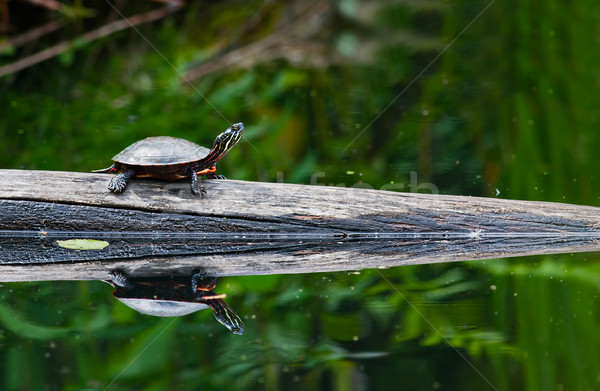 Painted Turtle Stock photo © sbonk