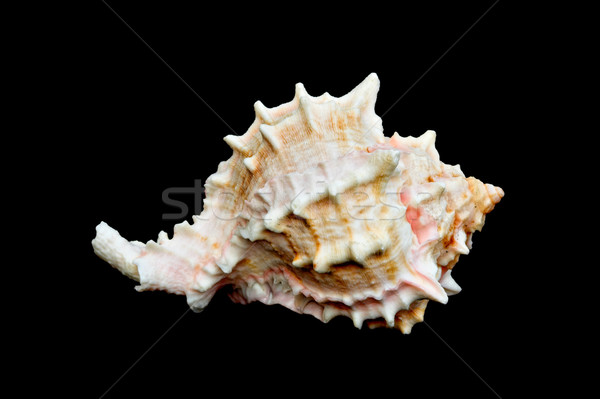 Seashell Over Black #11 (Conch) Stock photo © sbonk