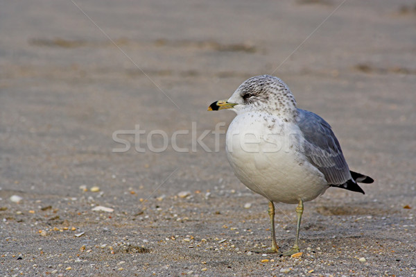 Gull on a Beach Stock photo © sbonk