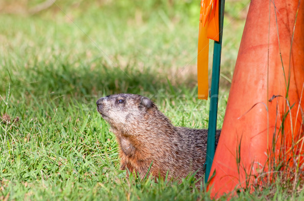 Groundhog Stock photo © sbonk