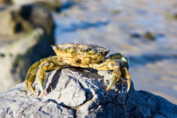 カニ 岩 海 海 砂 動物 ストックフォト © sbonk