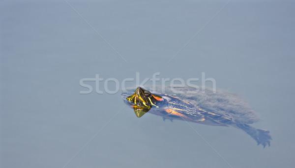 カメ スイミング 池 頭 アップ ストックフォト © sbonk