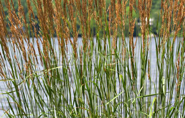 Lang meer focus uit water gras Stockfoto © sbonk