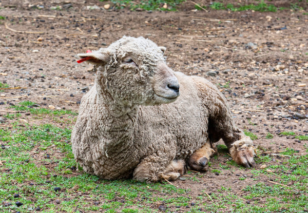 Sheep Stock photo © sbonk