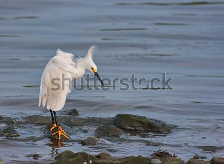 Snowy Egret Stock photo © sbonk