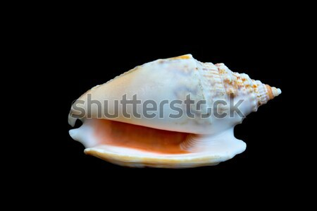 Seashell Over Black #6 (Conch) Stock photo © sbonk