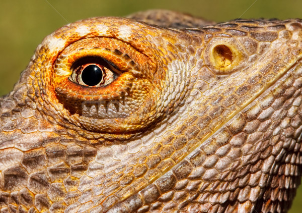 Bearded Dragon Closeup Stock photo © sbonk