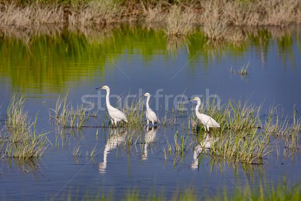 Three Snowy Egrets Stock photo © sbonk