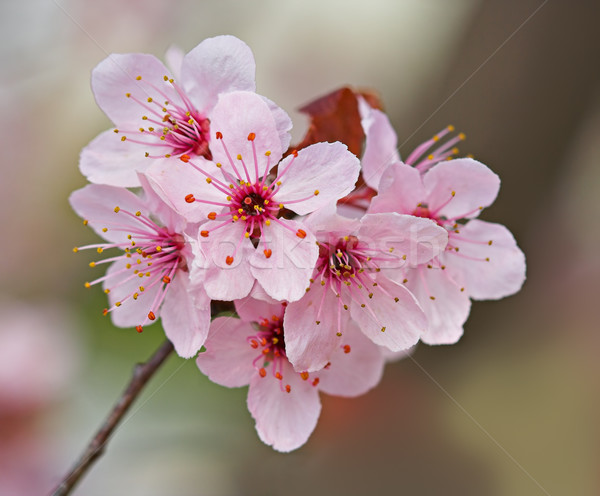 Plum Blossoms Stock photo © sbonk