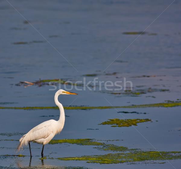 Great White Egret Stock photo © sbonk