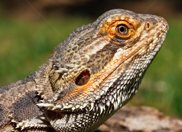 Bearded Dragon Stock photo © sbonk