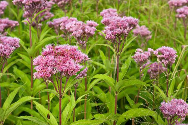Joe Pye Weed Wild Flowers (Eutrochium) Stock photo © sbonk