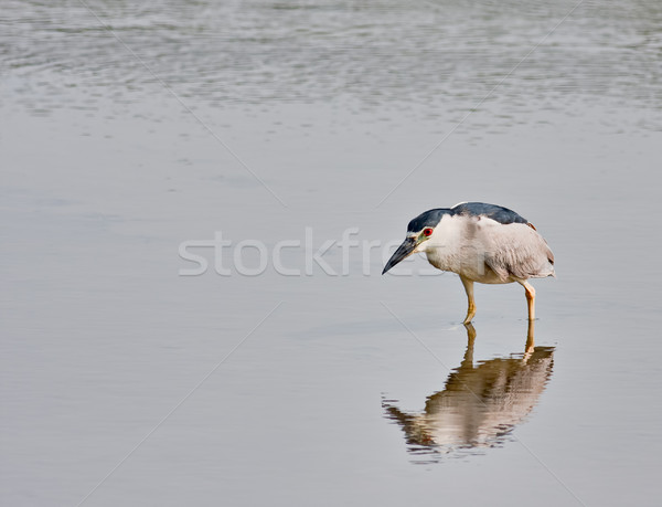 Black-crowned Night Heron (Nycticorax nycticorax) Stock photo © sbonk
