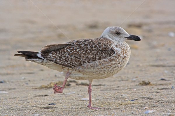 Gull With Hurt Foot Stock photo © sbonk