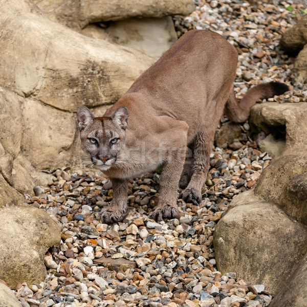 Puma on Rock Crouching Ready to Pounce Stock photo © scheriton